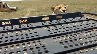 Tourist captures the moment a cheetah stands on top of her safari jeep - Video