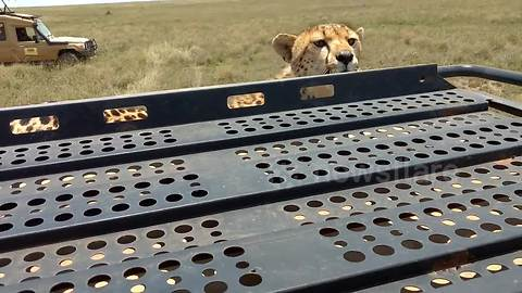Tourist captures the moment a cheetah stands on top of her safari jeep