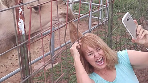 Camel Rips Out Woman's Hair