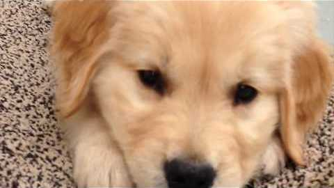 Golden Retriever Puppy Has the Time of His Life