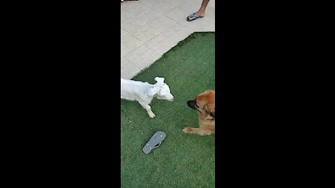 Dog and goat become instant best friends