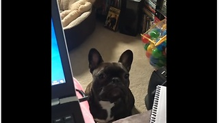 Needy French Bulldog Would Cry For His Owner's Attention