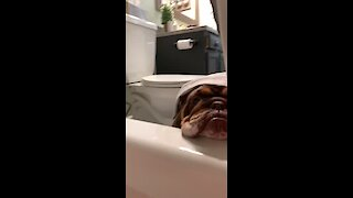 Jealous bulldogs really want to join their owner for a bath