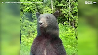 Curious bear stands up to peer inside vehicle