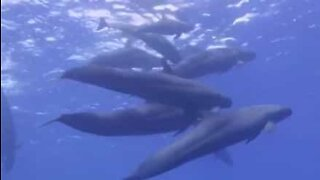 Divers swim with a group of false killer whales