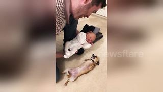 Excited Chihuahua Meets Newborn Baby For The First Time