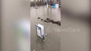 Family of buffalo swim in floodwater in China - Video