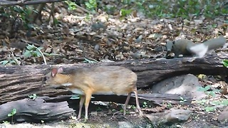 Timid Lesser Mouse-Deer Caught On Camera Drinking From Waterhole - Video