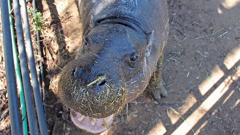 Hannah the happy hippo enjoys life after her rescue from the exotic pet trade