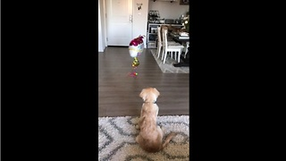 Puppy skeptical of balloons, attempts to make contact - Video
