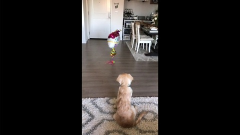Puppy skeptical of balloons, attempts to make contact