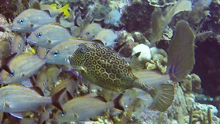 Bizarre reef fish disguises himself among regular fish