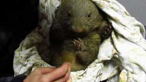 Injured Baby Wombat Abby Arrives at Sanctuary