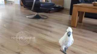 Harley the Cockatoo Goes Hunting for Nuts - Video