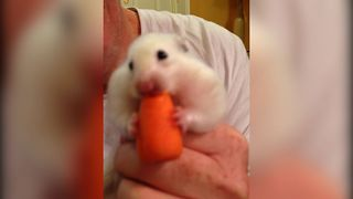 Hungry Hamster Swallows Whole Carrot