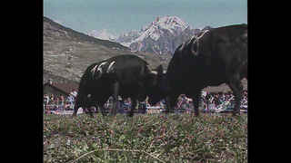 Cow Fighting Competition - Video