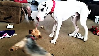 Great Dane swings small dog like a carnival thrill ride