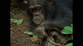 Chimp Goes Fishing For Termites