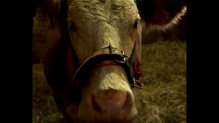 Fugitive Cow Caught In Germany - Video