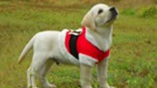 Labrador puppy loves Christmas, wears Santa costume
