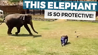 This Elephant Watches Her Caretaker Collapse Face Down Onto The Ground And Springs Into Action - Video