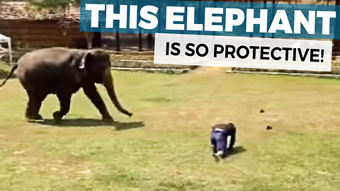 This Elephant Watches Her Caretaker Collapse Face Down Onto The Ground And Springs Into Action