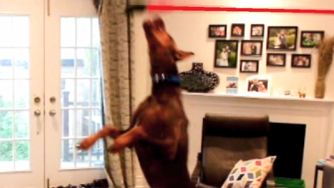 Doberman goes absolutely nuts when he discovers how fun it is to chase a broom