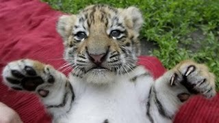 Cute Siberian Tiger Cubs Playing - Video