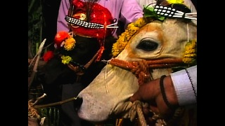 Cows Get Married - Video