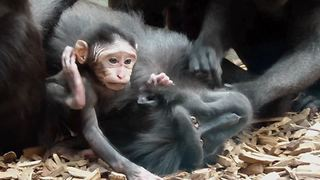 Newborn baby macaque receives tons of attention - Video