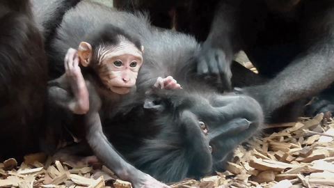 Newborn baby macaque receives tons of attention
