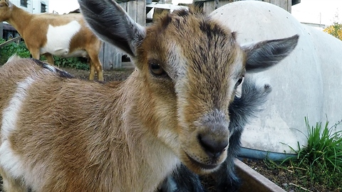 Mother goat shows extreme patience with demanding babies