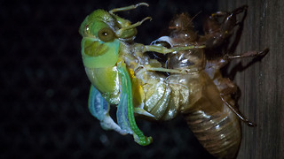Cicada Emerges From Its Exoskeleton After 7 Years: SNAPPED IN THE WILD - Video