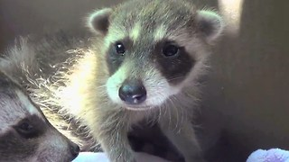 Cute Baby Raccoons Rescued and Reunited With Their Mother - Video