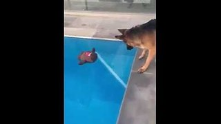 Dog Saves His Favorite Toy From the Pool - Video