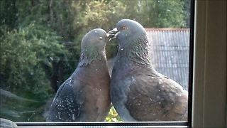 How kissing doves