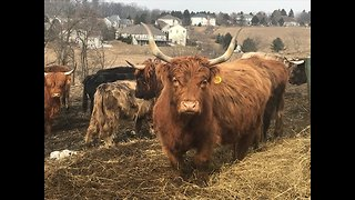 Scottish Highland Cattle Flock To Accordion Music - Video