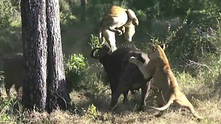 Lion Attack: Buffalo Wrestles With Lioness - Video