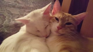 Loving kitties just can't get enough of each other - Video