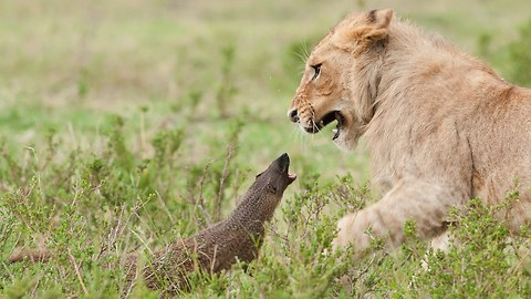 Brave Mongoose Fends Off Four Lions While They Try To Attack