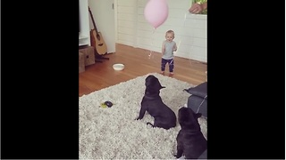 French Bulldogs entertain baby by balloon bouncing