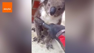 Good Samaritan Brushes Thorns Off Koala - Video