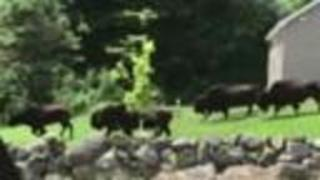 WATCH | Herd of bison runs loose in New Hampshire neighborhood - Video