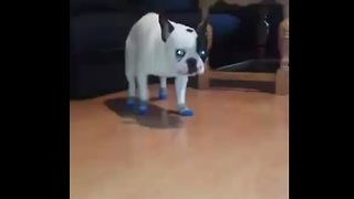 French Bulldog puppy not a fan of new winter socks - Video