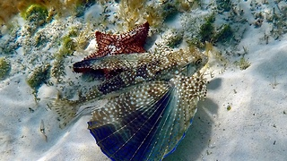 Flying Gurnard  - Video