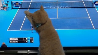 Sport-loving cat extremely into tennis match on TV - Video