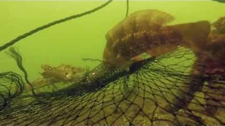 Crafty Fish Steals Food From Crab - Video