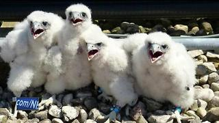 UWGB's peregrine falcons named - Video