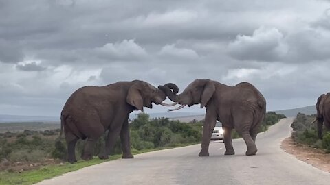 Sparring bull elephants cause traffic jam on the road