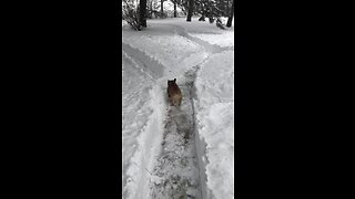 French Bulldog runs through maze of huge snowfall